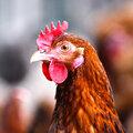 Hühner im Garten halten: worauf muss man achten?