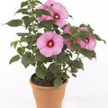 Hibiscus Newbiscus Mauvelous