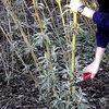 Schmetterlingsflieder schneiden Buddleja: Zeitpunkt und Vorgehensweise