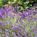 Lavendel zurückschneiden + Verwendung