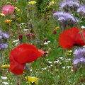 Comment semer une prairie fleurie?