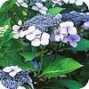 Hortensien: die wichtigsten Sorten Hydrangea und ihre Pflege