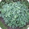 Alchemilla mollis oder weicher Frauenmantel: eine schöne mehrjährige Pflanze als Bodendecker