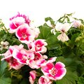 Optez pour le géranium pour vos bacs à fleurs