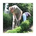 Buchsbaum schneiden: Arbeitsweise, Zeitpunkt, Tipps, Werkzeuge, Informationen