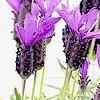Lavandula stoechas / Schopf-Lavendel: stutzen, stecken, Arten, ...