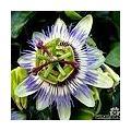 Passiflora caerulea - blaue Passionsblume als Kletterpflanze für die Erde oder als Topfpflanze