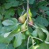 Feigen im Garten pflanzen: Feigenarten und ihre Eigenschaften