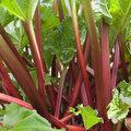 Tout savoir pour bien profiter de la rhubarbe au jardin