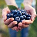 Comment reconnaître et conserver les myrtilles et bleuets?