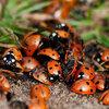 Les insectes utiles au jardin comme les coccinelles, les araignées, les dermaptères....