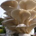Faire pousser ses champignons comestibles, mode d'emploi
