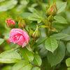 Juin, le mois des roses