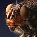 Quel fléau cette variété de mouche piquante!