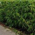 Le bambou est-il tabou?