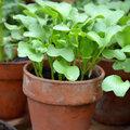 Au jardin en mars, avec les premiers légumes!