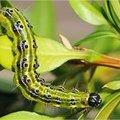Evitez la chenille dévoreuse de buis! Un véritable fléau pour vos plantes