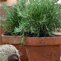 Quelles sont les plantes aromatiques indispensables?