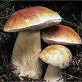 Qui sont ces champignons comestibles?