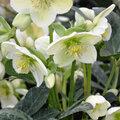 L'achat de plantes vivaces en hiver