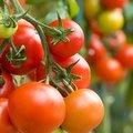 semer des tomates