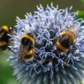 Qui sont ces insectes particuliers au jardin?