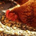 Perspective à suivre : grippe aviaire en approche