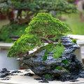 Le bonsai, de la verdure dans chaque pièce
