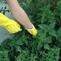 Un sujet piquant: la chasse aux orties