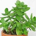 La Crassula? Une succulente parfaite pour les nuls en jardinage