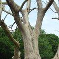 Le frêne commun en détresse