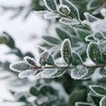 Ces plantes qui restent bien vertes en hiver