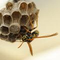 Qui est cet insecte qui nous approche? Une abeille, une guêpe ou un syrphe-frelon?