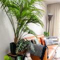 Notre plante d'intérieur de cette semaine : le palmier Kentia