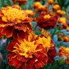 Colorez votre assiette avec des fleurs comestibles