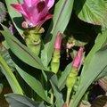 Le curcuma, bien plus qu'une belle plante d'intérieur