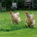 Des animaux de basse-cour à plumes intéressants
