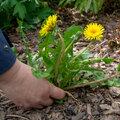 Nos astuces écologiques face aux mauvaises herbes