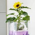Sunsation, un tournesol en pot pour un été joyeux