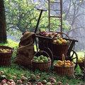 Quand cueillir les pommes et les poires?