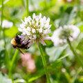 Dénombrer les fleurs sauvages dans le gazon