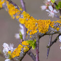 Les lichens représentent-ils un danger?