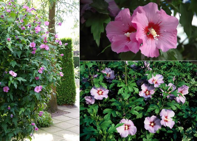 L\'hibiscus, pour un été plein de couleurs