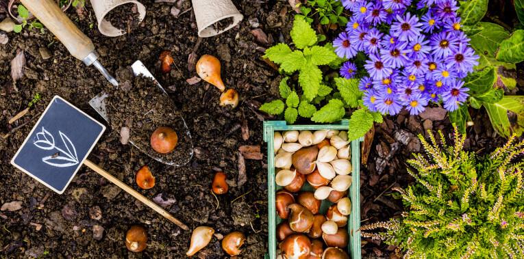 Vorbereitungen für das Pflanzen von Blumenzwiebeln