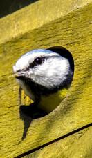 Pimpelmees nest maken