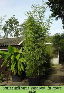 Bambuspflanzen Als Kubelpflanze Fur Terrasse Oder Balkon Geeignete