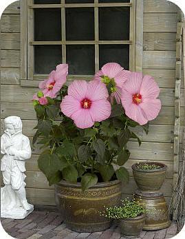 Riesenblüten hibiskus überwintern mit Die erstaunlichen