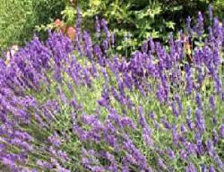 Lavendel Stecklinge Pflanzabstand Zuruckschneiden Verwendung Und