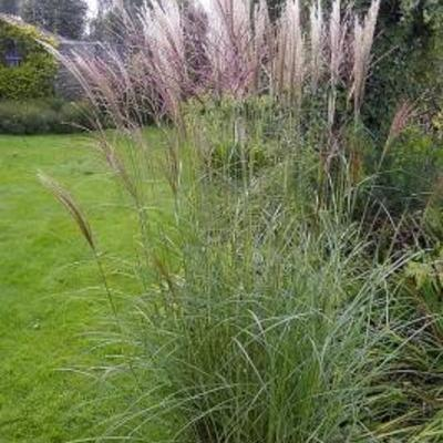miscanthus sinensis 39 kleine silberspinne 39 acheter des plantes en ligne. Black Bedroom Furniture Sets. Home Design Ideas
