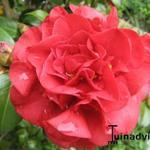 Camellia japonica - Camélia du Japon - Camellia japonica